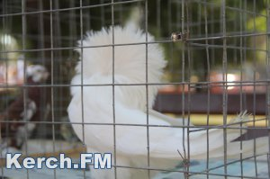 В Керчи показали разные породы голубей