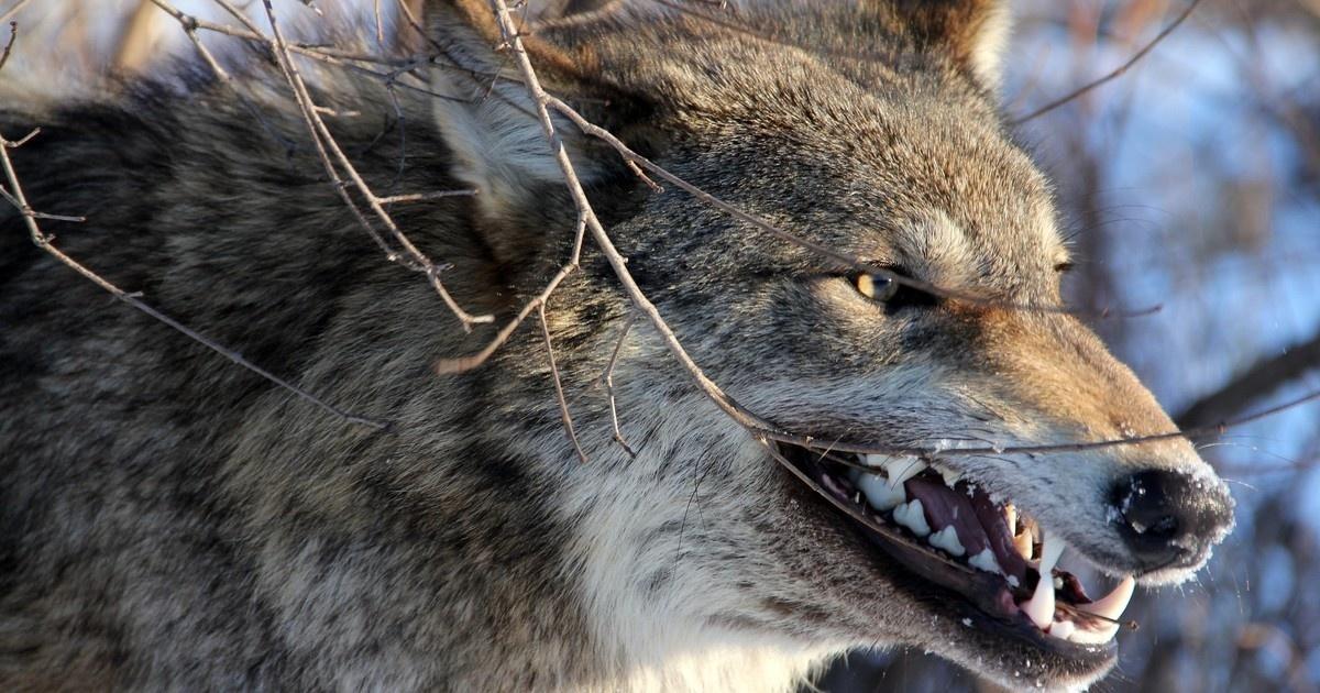 Напавший налюдей вКрыму волк оказался заражен бешенством