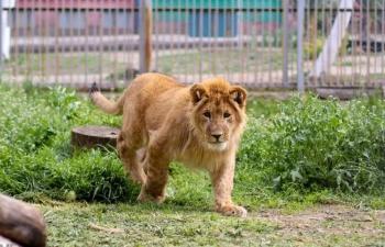 В зоопарк Крыма привезли двух львят